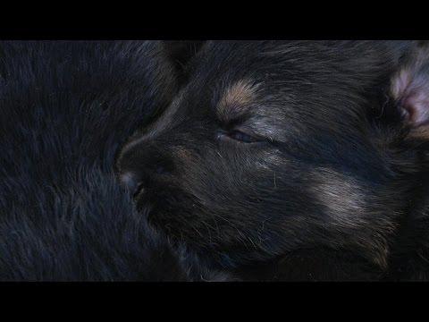 Genetics Matter!! Prufenpuden Bloodlines Family Raised Protection Dog For Sale