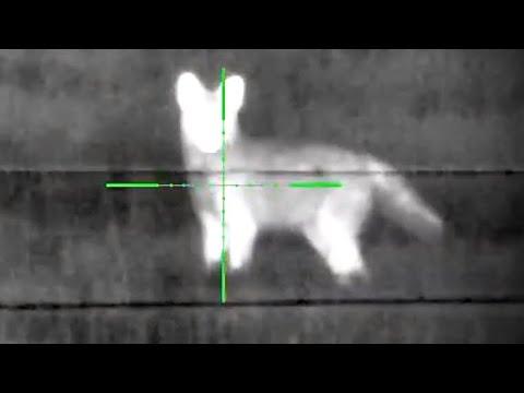 100 Coyote Season [Best Hunts] Thermion XG50