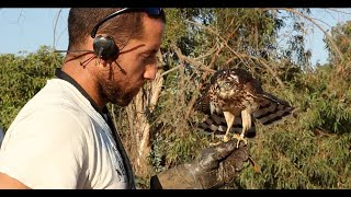 Imprinting, Hacking, Training and Hunting with a Cooper's Hawk for Falconry