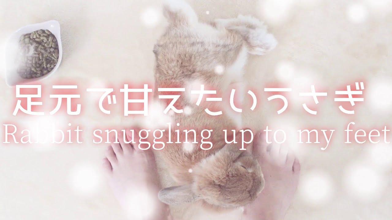 飼い主にくっつきたい♡甘えたい♡ずっと一緒にいたいうさぎ【Rabbit that loves its owner♡】