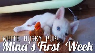 White Siberian Husky Puppy! - Mina's First Week