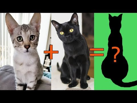 7 Most Popular Hybrid Cross Mixes Cat Breeds | Animal Beast