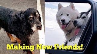 Husky & Malamute Meet A Gordon Setter At The Dog Park