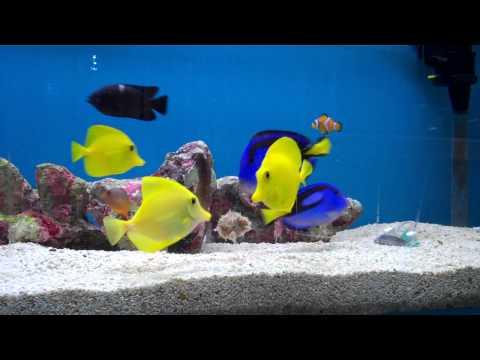 marine fish feeding, reef aquarium, yellow tang, regal tang