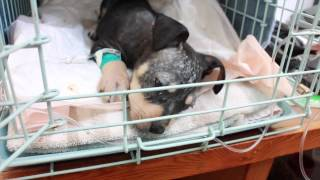 Treatment of Ivermectin Toxicity in a Puppy with Intralipid