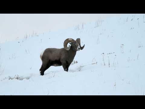 Bighorn Ram.mov