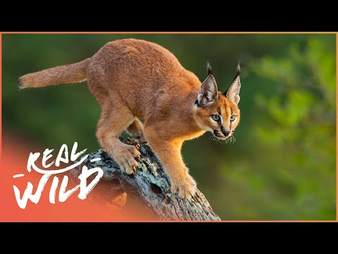 Top Cat [Caracal Documentary] | Wild Things
