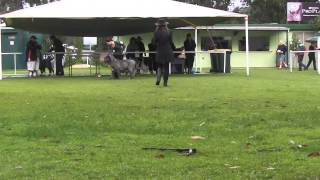 Neapolitan Mastiff Judging At Warners Bay Sports Dog Club Nsw 2013