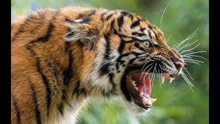 Животные мира Голодные тигры Хищники Непала Идеал природы Миг кошмара Укус смерти Сила Когтя