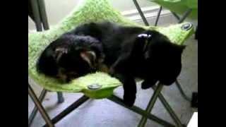 Cat Tolerates Yochon Puppy (bichon Frise Yorkie Mix)