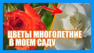 видео Многолетние цветы Подмосковье