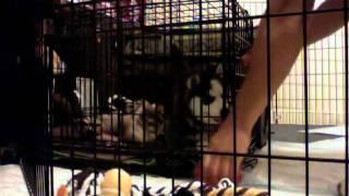 Siberian Husky Kennel Training