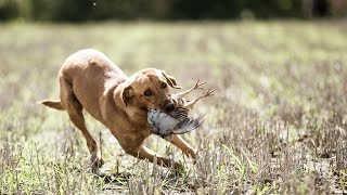 Gundog Training: Introducing your dog to cold game