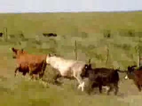 Cattle Stampede Youtube