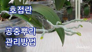 호접란 공중뿌리 관리 하는 방법. How to Care for Phalaenopsis aerial roots.