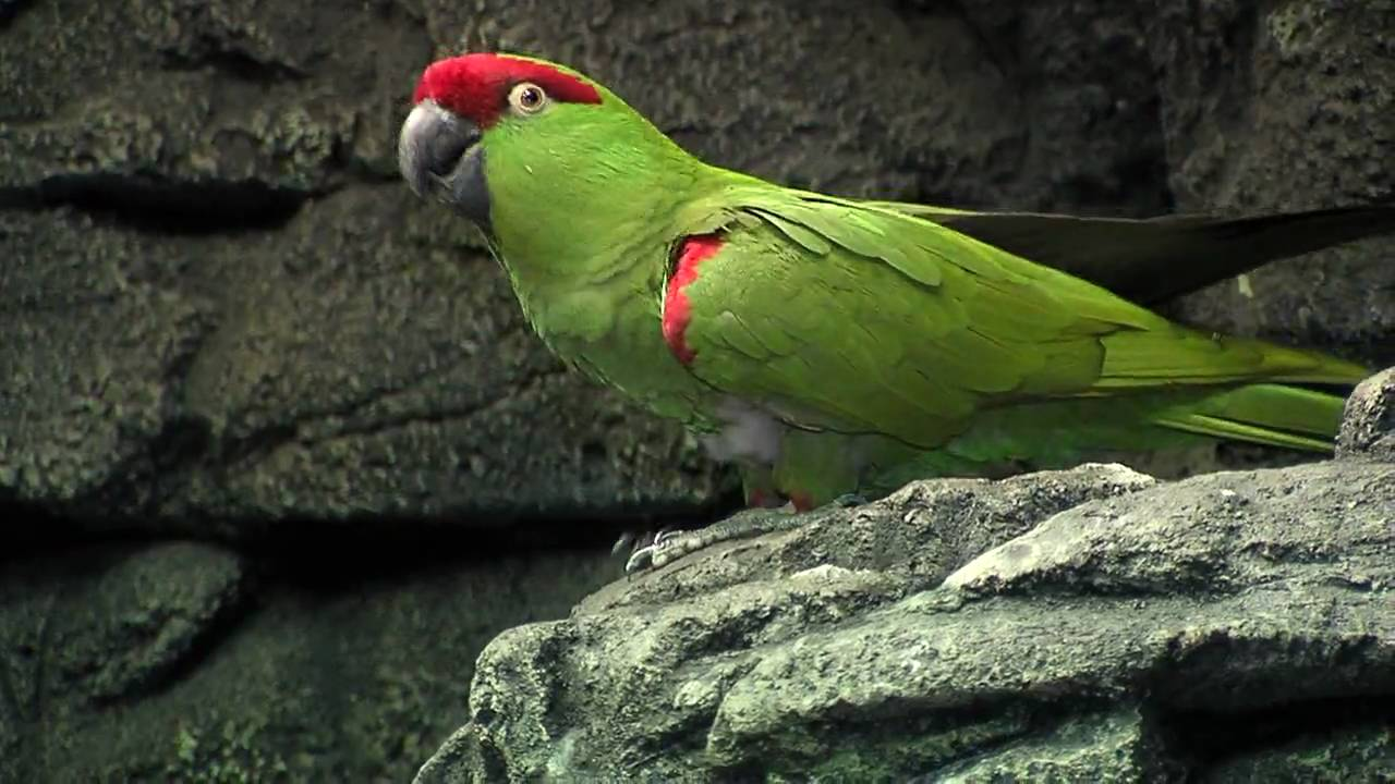 Nykomna Thick-Billed Parrot-Cincinnati Zoo - YouTube MK-42