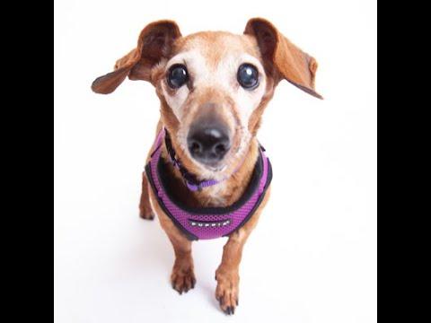 stevie-nicks,-a-female-dachshund-short-hair-at-muttville