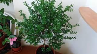 видео Мирт: уход в домашних условиях, комнатное растение (дерево)