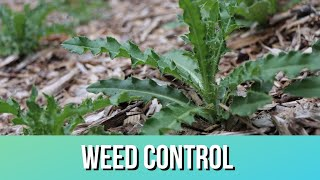 Are Wood Chips Good Weed Control?