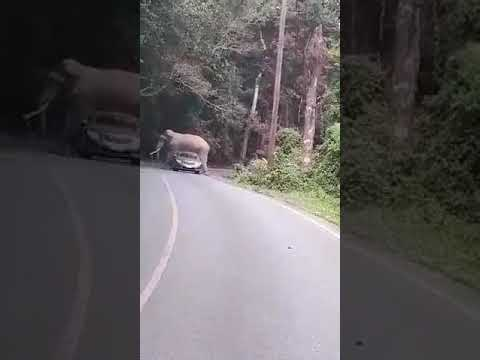 Elephant Squishes Car in Khao Yai National Park in Thailand
