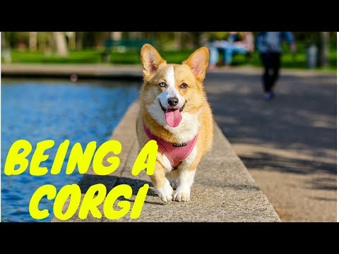 Corgi Funny Video Compilation~Cute corgi Dogs~Animals Being Animals Series
