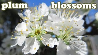 Santa Rosa Plums Blossom - Red Plum Tree Fruit Blossoms - Early Spring Flowers White - Jazevox