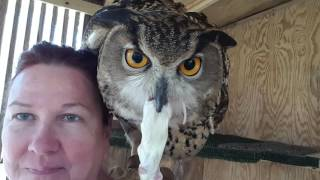Eagle owl working for his lunch. 020416