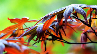 Katie Melua - Plague of Love , maple leaves , Taiwan