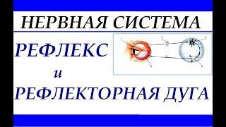 Рефлекторная дуга. Рефлекс. Анатомия и физиология человека.