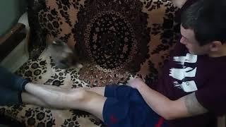 Собака пикинес ругается