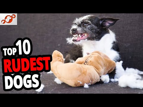 🐕-rudest-dogs-–-top-10-rudest-dog-breeds-in-the-world!
