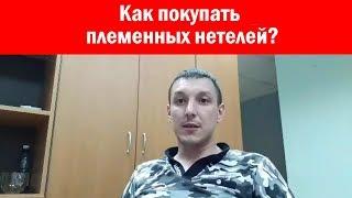 Где и как купить племенных нетелей?Продажа племенных нетелей живым весом по России и Казахстану СНГ