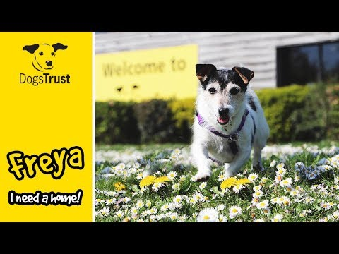 Freya the Friendly Jack Russell Terrier is Looking for a Home! | Dogs Trust Harefield
