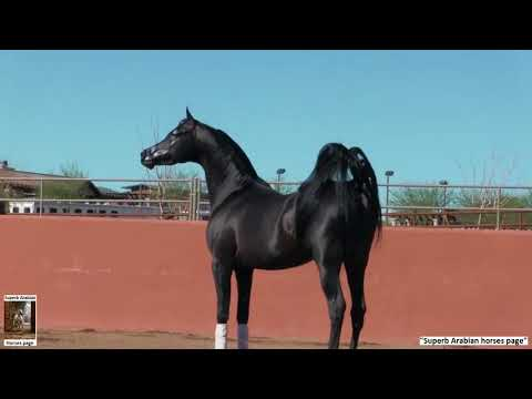 The superb Black Arabian stallion: Spades LRA.