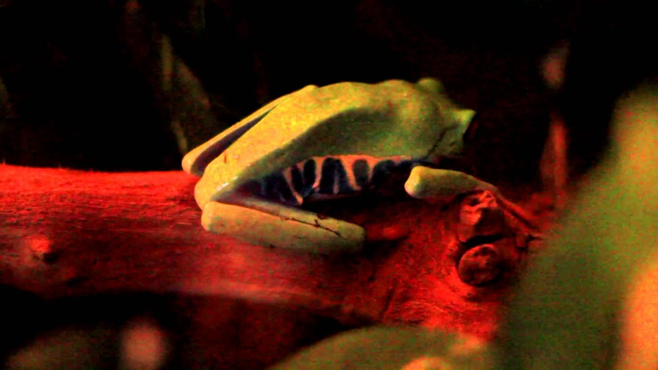 Red-eyed Tree Frog eating cricket. - YouTube