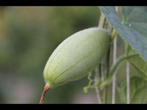 Cultivation of Pointed Gourd (परवल...