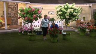 Cottage Farms Quickfire Tree Hydrangea with Carolyn Gracie