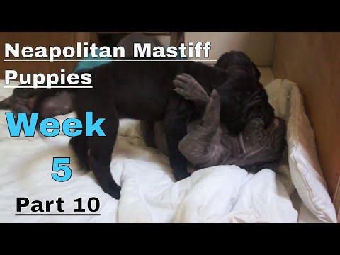 Neapolitan Mastiff Puppies Week 5 All Together Teething, Playing, Barking