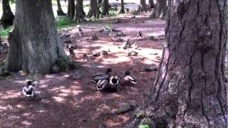 Ducks Mating Forcibly
