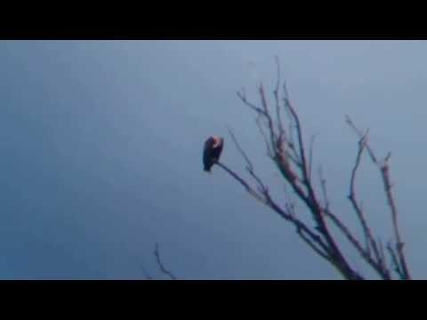 Eastern Imperial Eagle - Aquila heliaca, Stupava 12.7.2014
