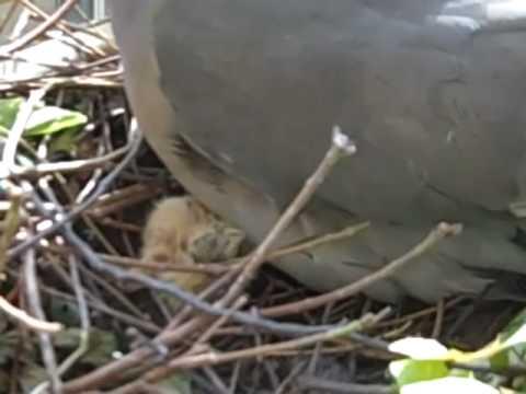 Newborn Baby Wood Pigeon Squeaks - YouTube
