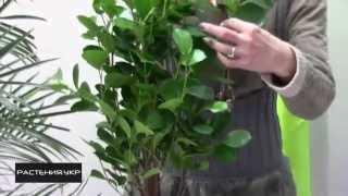 Фикус уход в домашних условиях / Фикус Панда (Ficus Panda)