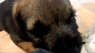 Baxter 22 - Eating Shoe Laces (cute Puppy Border Terrier @ 7 Weeks)