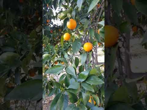 Growing the tastiest Valencia Oranges in Northern CA.