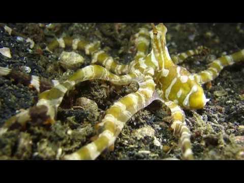 159 The beauty of a Wonderpus Octopus   ADVENTURES UNDERWATER