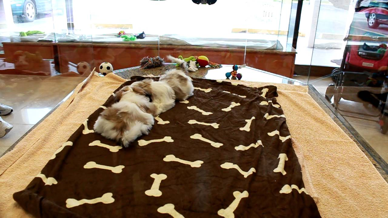 Male And Female Tan And White Shih Tzu Puppies Playing Youtube
