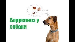 Боррелиоз У Собаки & Признаки И Лечение Боррелиоза У Собак. Ветклиника Био-Вет