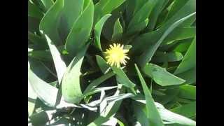 СКАЧАТЬ ФУТАЖИ Весна Весенние цветы Красавчик одуванчик Free footage Футажи для видеомонтажа