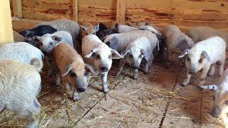 Помещение для откорма молодняка свиней. Фермерское хозяйство Евгения Андриенко.