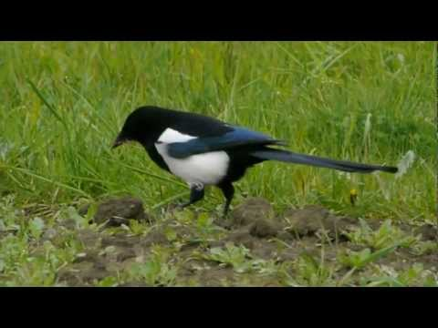European Magpie or Common Magpie (Pica pica) / Elster [3]